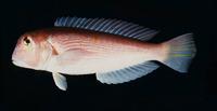 Branchiostegus japonicus, Red tilefish: fisheries