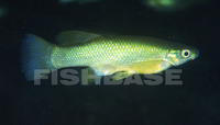 Goodea atripinnis, Blackfin goodea: fisheries, aquarium