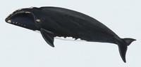 Image of: Eubalaena glacialis (North Atlantic right whale)