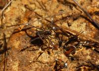 Image of: Dolomedes