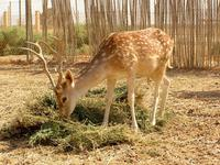 Dama mesopotamica - Persian Fallow Deer