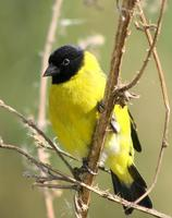 Image of: Carduelis magellanica (hooded siskin)