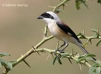 Image of: Lanius vittatus (bay-backed shrike)