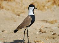 Image of: Vanellus spinosus (spur-winged plover)