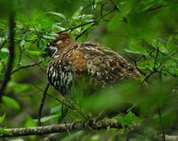 Chinese Grouse - Tetrastes sewerzowi