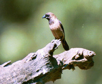 Black-throated Munia - Lonchura kelaarti