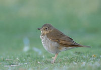 Swainson's Thrush (Catharus ustulatus) photo
