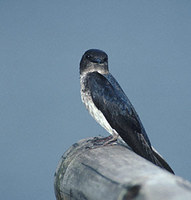 Gray-breasted Martin (Progne chalybea) photo