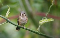 Speckled Hummingbird (Adelomyia melanogenys) photo
