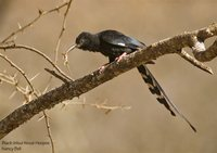 Black-billed Woodhoopoe - Phoeniculus somaliensis