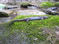 : Ambystoma barbouri; Streamside Salamander