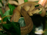 : Atheris ceratophora; Usumbara Horned Bush Viper