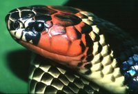 : Micrurus spixii obscurus; Amazonian Coral Snake