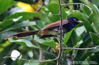 Japanese Paradise-Flycatcher Scientific name - Terpsiphone atrocaudata