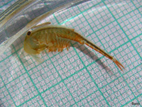 Eubranchipus grubii - Fairy Shrimp