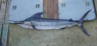 Tetrapturus audax, Striped marlin: fisheries, gamefish