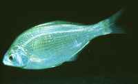 Phanerodon furcatus, White seaperch: fisheries, gamefish
