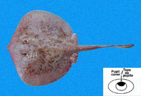 Urotrygon chilensis, Chilean round ray: