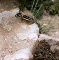 Image of: Tamias umbrinus (Uinta chipmunk)