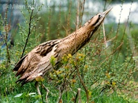 Botaurus stellaris - Great Bittern