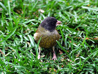 Image of: Carduelis ambigua (black-headed greenfinch)