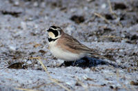 Image of: Eremophila alpestris (horned lark)