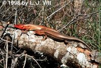 Image of: Eumeces laticeps (broad-headed skink)