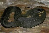 Image of: Nerodia erythrogaster (plain-bellied water snake)