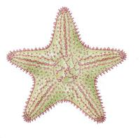 Image of: Oreaster reticulatus (cushion sea star)