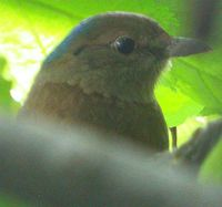 Blue-naped Pitta - Pitta nipalensis