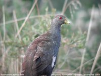 Tasmanian Native-hen - Gallinula mortierii