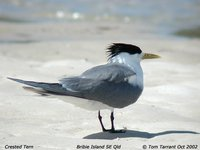 Great Crested Tern - Sterna bergii