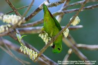 Blue-crowned Hanging-Parrot - Loriculus galgulus