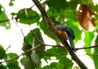 Orange-bellied Trogon - Trogon aurantiiventris