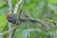 Chicli Spinetail - Synallaxis spixi