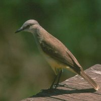 Cattle Tyrant - Machetornis rixosus