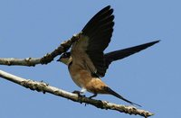 Rufous-chested Swallow - Cecropis semirufa