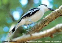 Hook-billed Vanga - Vanga curvirostris