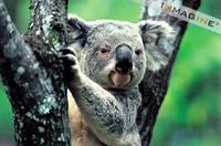 Koala (Phascolarctos cinereus) photo