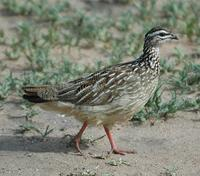 Crested Francolin p.100