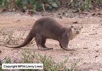 Smoth-Coated Otter, photo copyright MPhil (Frank Liew)