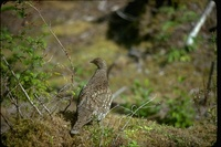 : Dendragapus obscurus; Blue Grouse