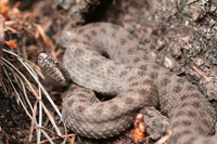 : Crotalus pricei; Twin Spot Rattlesnake