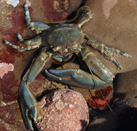 : Petrolisthes manimaculis; Chocolate Porcelain Crab