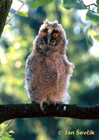 Photo of Asio otus, Waldohreule, Long-eared Owl, kalous ušatý.