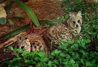 작은사향고양이 Viverricula indica  Small Indian Civet