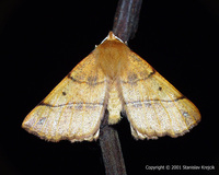 Colotois pennaria - Feathered Thorn