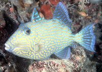 Pseudobalistes fuscus, Yellow-spotted triggerfish: fisheries, aquarium