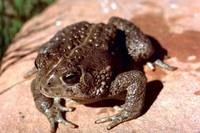 Bufo woodhousii - East Texas Toad