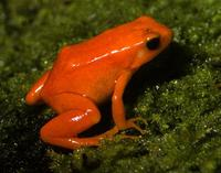 Image of: Mantella aurantiaca (golden mantella)